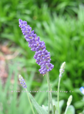 Chloelina All Natural Soap Co photo of lavender flower stalk in bloom