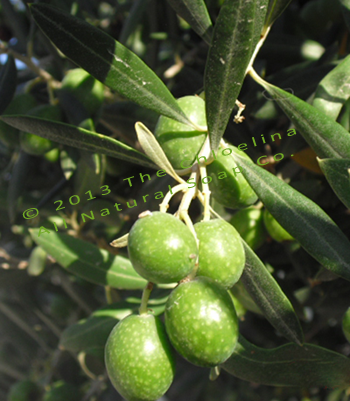 Chloelina All Natural Soap Co photo of green olives hanging from tree branch.